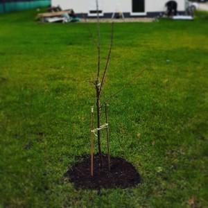 Ein junger Kirschbaum