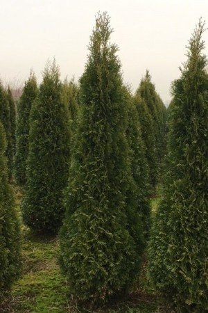"""Lebensbaum """"Smaragd"""" (Thuja)"""